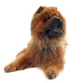 Chow-chow Royalty Free Stock Photo