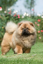 Chow Chow Stock Photography