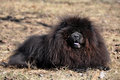 Chow chow black big fluffy dog is on the dry grass the is a sturdily built dog square in profile with a broad skull and small Stock Photo