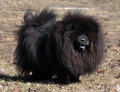 Chow chow black big fluffy dog is on the dry grass the is a sturdily built dog square in profile with a broad skull and small Royalty Free Stock Images