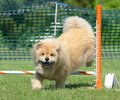 Chow Chow at a Dog Agility Trial Royalty Free Stock Photo