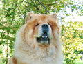 Chow-Chow dog in the city park Stock Photo