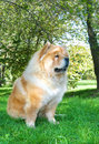 Chow-Chow dog in the city park Stock Photos