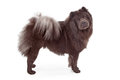 Chow-Chow Dog Isolated on White Royalty Free Stock Photography