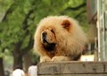 Chow chow dog lying on the street Stock Photography