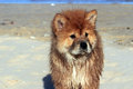 Chow chow dog young wet gazing into the distance on the beach Stock Photography