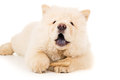 Chow chow eats bone close-up Royalty Free Stock Photo