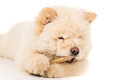Chow chow eats bone Royalty Free Stock Photo