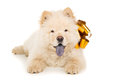 Chow chow puppy with a bow isolated beautiful Royalty Free Stock Image
