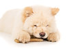 Chow chow puppy chewing on a bone isolated Royalty Free Stock Photo