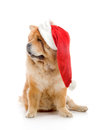 Chow-Chow in a red Santa Claus hat Royalty Free Stock Image