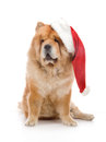 Chow-Chow in a red Santa Claus hat Royalty Free Stock Images