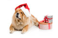 Chow-Chow in a red Santa Claus hat Royalty Free Stock Photo