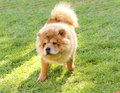 Chow chow a young beautiful fawn cream brown puppy dog walking on the lawn the chowdren has a distinctive dense coat ruff behind Stock Image