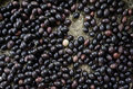 Christ s thorn fruit in pannier carissa carandas l Stock Photo