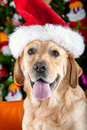 Christhmas dog labrador retriever a labradador with santa hat Stock Image