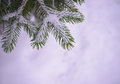 Christmas background with fir tree and real snow branch covered Stock Photography