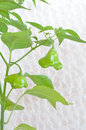 Christmas bell chili peppers plant Royalty Free Stock Photo