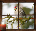 Christmas bird female common redpoll perched outside in the snow in front of tiny farm house window looking at a pretty candle Royalty Free Stock Image
