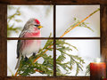 Christmas bird male common redpoll perched outside in the snow in front of tiny farm house window looking at a pretty candle Stock Photo