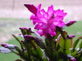 Christmas cactus blooms a gorgeous also known as the orchid shown in partial bloom with the subtle fuschia color of the flowers Stock Images