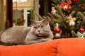 Christmas cat on couch cozy home concept closeup shot of british shorthair lying the by the tree Stock Photo