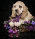 Christmas Cocker Spaniel Puppy Royalty Free Stock Images