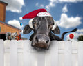 Christmas cow wearing santa hat a large black with a with ornaments on his tail and a squirrel friend helps with a decoration as Royalty Free Stock Photo