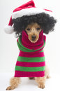 Christmas for curly haired pooch a poodle with big hair in a santa hat and red and green striped sweater Stock Photos