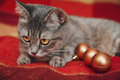 Christmas Cute cat is playing with christmas balls.Checkered red plaid Royalty Free Stock Photo