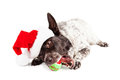 Christmas dog chewing on tennis ball funny photo of a large wearing a santa claus hat laying down a toy that says woof Stock Photo
