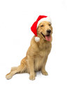 Christmas dog golden retriever in santa hat in white background with clipping path Royalty Free Stock Photos