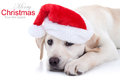 Christmas dog labrador puppy in santa hat with sample text Royalty Free Stock Photography
