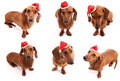 Christmas dog poses six daschaund wearing a santa s hat Stock Photography