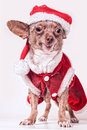 Christmas dog smile Stock Image