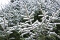 Christmas evergreen spruce tree with fresh snow on white Royalty Free Stock Photo