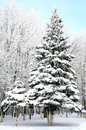 Christmas fir trees with snowy brances Stock Images