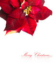 Christmas flower poinsettia Stock Images