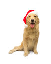 Christmas gift best cute golden retriever dog isolated in white background with clipping path Royalty Free Stock Photo