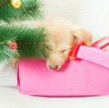 Christmas gift puppy golden sleeping in a box under the tree Stock Photography