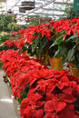 Christmas greenhouse color rows of poinsettias in a Stock Photography