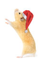 Christmas hamster isolated on white background Royalty Free Stock Photos