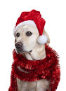 Christmas hat dog a labrador wearing a santa and tinsel isolated on a white background Stock Images