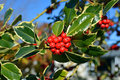 Christmas Holly Tree Closeup of Berries and Green Variegated Lea