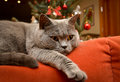 Christmas home spirit cat on couch cozy concept closeup shot of british shorthair lying the Royalty Free Stock Photo