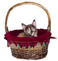 Christmas Kitten Stock Photography
