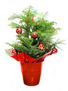 Christmas Norfolk Pine Stock Photos