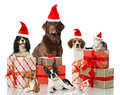 Christmas pets isolated on white Royalty Free Stock Images
