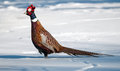 Christmas pheasant. Royalty Free Stock Photos