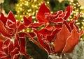 Christmas poinsettia Royalty Free Stock Photo